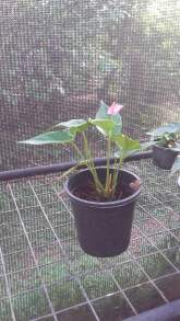 Anthurium plants for sale