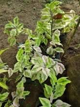 Wisithuru pela (Plants)